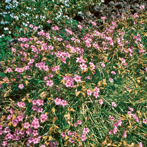 Oxalis articulata